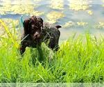 German Wirehaired Pointer Breeder in PARSONS, KS, USA