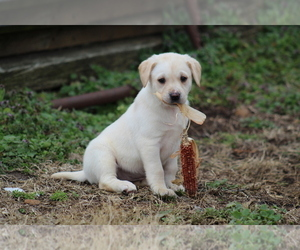 Main photo of Labrador Retriever Dog Breeder near COTTAGE GROVE, TN, USA