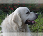 Golden Retriever Breeder in DALLAS, TX, USA