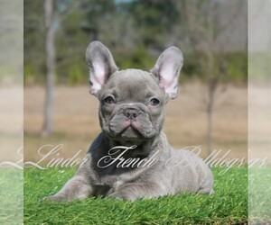 Main photo of French Bulldog Dog Breeder near OKEFENOKEE, GA, USA