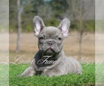 French Bulldog Breeder in OKEFENOKEE, GA, USA
