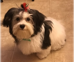 Main photo of Havanese Dog Breeder near LOUISVILLE, KY, USA