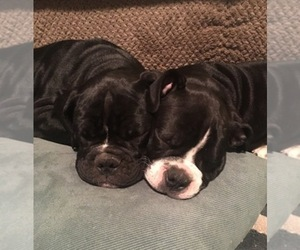 Olde English Bulldogge Breeder in ENTERPRISE, AL