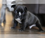 French Bulldog Breeder in ALEXANDRIA, OH, USA