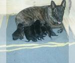 Dutch Shepherd Dog Breeder in CYPRESS, TX, USA