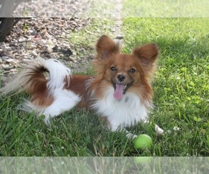 Papillon Dog Breeder near CO SPGS, CO, USA