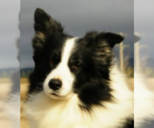 Border Collie Breeder in DESMET, ID, USA