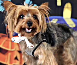Yorkshire Terrier Dog Breeder near CAVE CREEK, AZ, USA