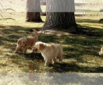 Golden Retriever Breeder in COLLEGE STATION, TX, USA
