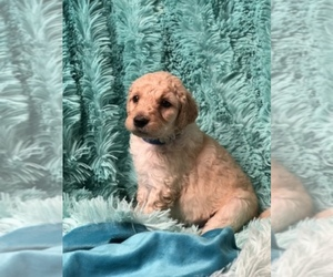 Goldendoodle Dog Breeder in MOUNT JULIET,  USA