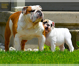 Main photo of English Bulldog Dog Breeder near GEORGETOWN, TX, USA