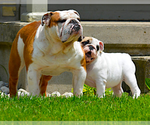 English Bulldog Breeder in GEORGETOWN, TX, USA