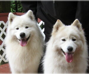 Samoyed Dog Breeder near SEDRO WOOLLEY, WA, USA