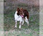 Border Collie Breeder in PAIGE, TX, USA