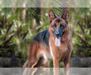 German Shepherd Dog Dog Breeder in FORT MYERS,  USA