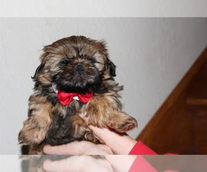 Main photo of Shih Tzu Dog Breeder near TOLEDO, OH, USA