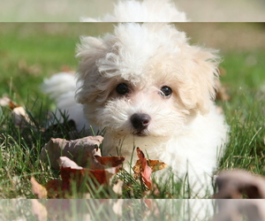 Bichon Frise Dog Breeder in WOODSTOCK,  USA