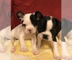 French Bulldog Breeder in LINDEN, MO, USA