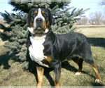 Bernese Mountain Dog Breeder in RIVERSIDE, IA, USA