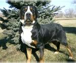 Bernese Mountain Dog Breeder in RIVERSIDE, IA, USA