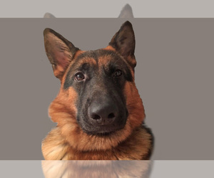 German Shepherd Dog Breeder in CARTERSVILLE, GA, USA
