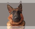 German Shepherd Dog Breeder in CARTERSVILLE, GA, USA