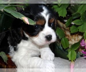 Cavalier King Charles Spaniel Dog Breeder in DOON,  USA
