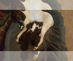 German Shorthaired Pointer Breeder in BAYTOWN, TX, USA