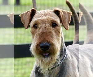 Airedale Terrier Dog Breeder near CROSSVILLE, TN, USA