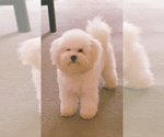 Bichon Frise Breeder in BAY SAINT LOUIS, MS, USA