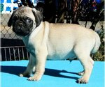Pug Breeder in MAYWOOD PARK, OR, USA