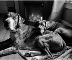 Great Dane Dog Breeder in ARCADIA,  USA