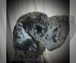Great Dane Breeder in ARDEN, NC, USA