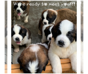 Saint Bernard Dog Breeder in GRANTVILLE,  USA