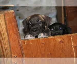 Main photo of Great Dane Dog Breeder near YELM, WA, USA