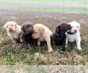 Main photo of Labrador Retriever Dog Breeder near ADAIR, OK, USA