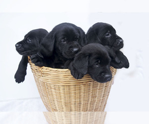 Main photo of Labrador Retriever Dog Breeder near VANCOUVER, WA, USA