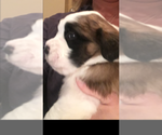 Saint Bernard Breeder in SPRINGFIELD, IL, USA