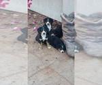 Entelbucher Mountain Dog Breeder in Surprise, AZ, USA