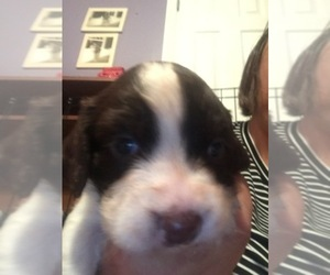 English Springer Spaniel Breeder in MANCHESTER, KY