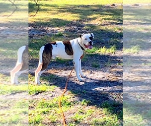 Main photo of Dogo Argentino Dog Breeder near WESLEY CHAPEL, FL, USA