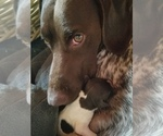German Shorthaired Pointer Breeder in GOSHEN, NH, USA