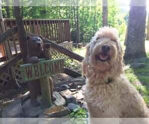 Main photo of Goldendoodle Dog Breeder near MODOC, IN, USA