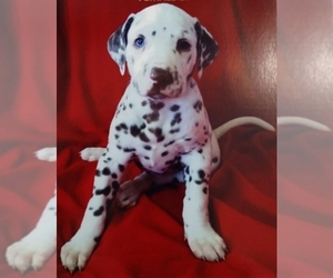 Dalmatian Dog Breeder near ELKMONT, AL, USA