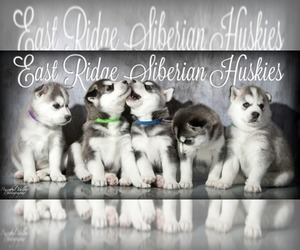 Main photo of Siberian Husky Dog Breeder near LA VALLE, WI, USA