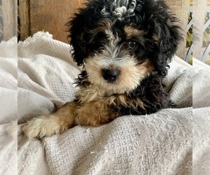 Main photo of Bernedoodle Dog Breeder near GRANGER, IN, USA