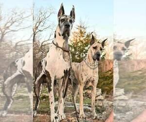 Great Dane Dog Breeder in NEOSHO,  USA