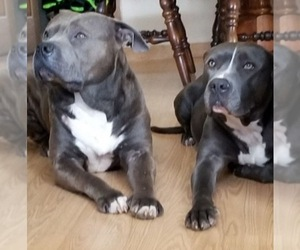 American Staffordshire Terrier Dog Breeder near FRANKLIN, OH, USA