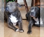 American Staffordshire Terrier Breeder in FRANKLIN, OH, USA