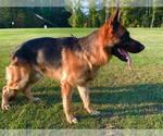 German Shepherd Dog Breeder in COLUMBIA, SC, USA